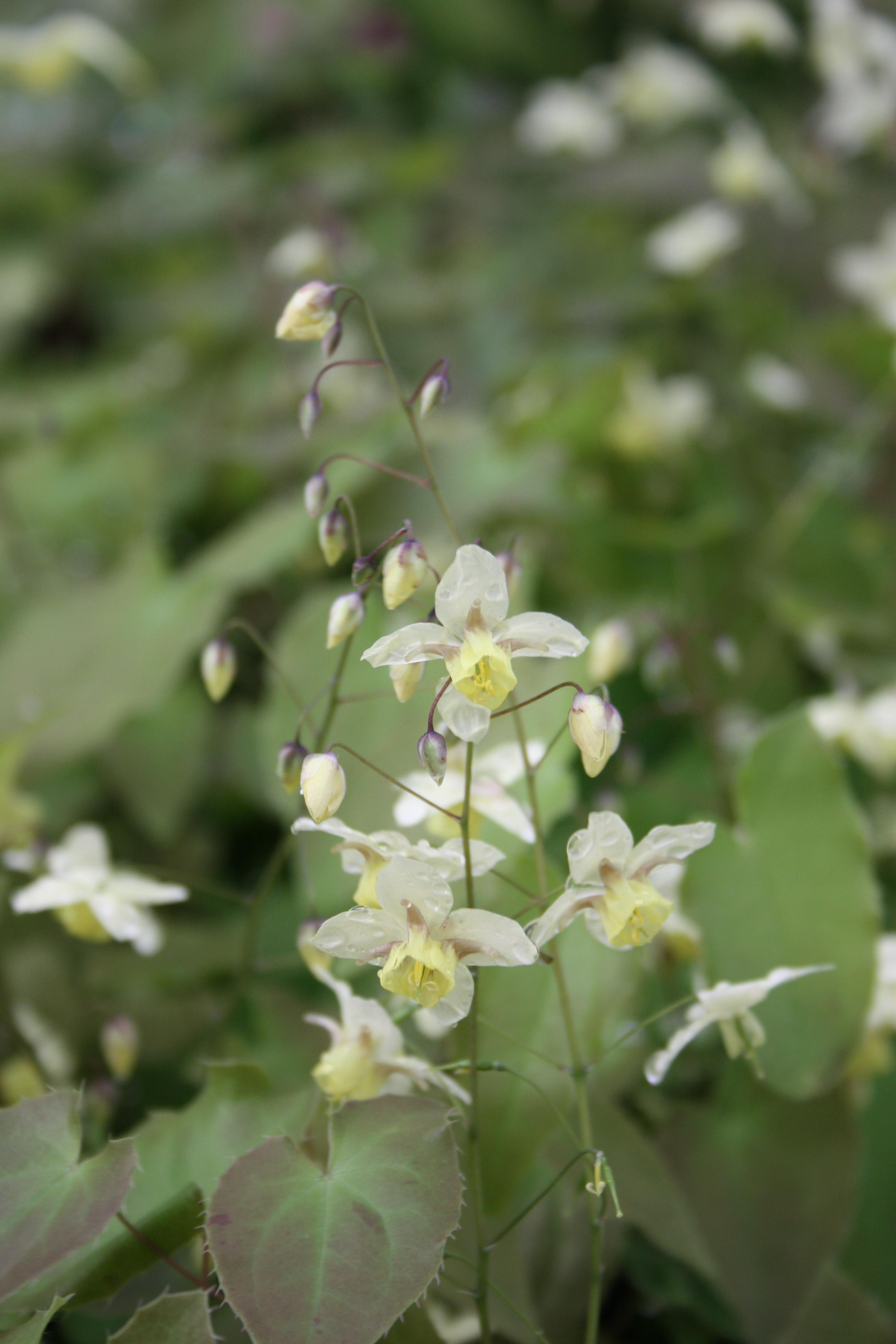 Epimedium x versicolor 'Neosulphureum' @ JLBG; semi-evergreen