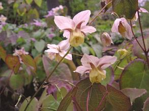 Epimedium x versicolor 'Strawberry Blush'