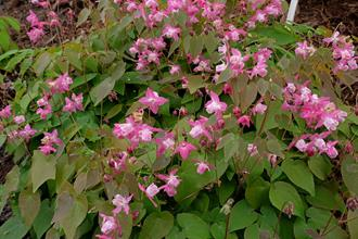 Epimedium x youngianum 'Be My Valentine'