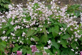 Epimedium x youngianum 'Fairy Dust'