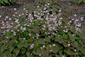 Epimedium x youngianum 'Fairy Dust '