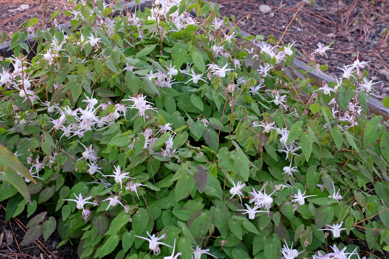 Epimedium x youngianum 'Freckles' @ JLBG - a 2000 Cobblewood introduction; semi-evergreen