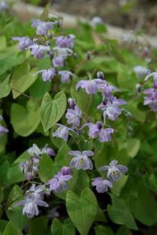 Epimedium x youngianum 'Grape Fizz'