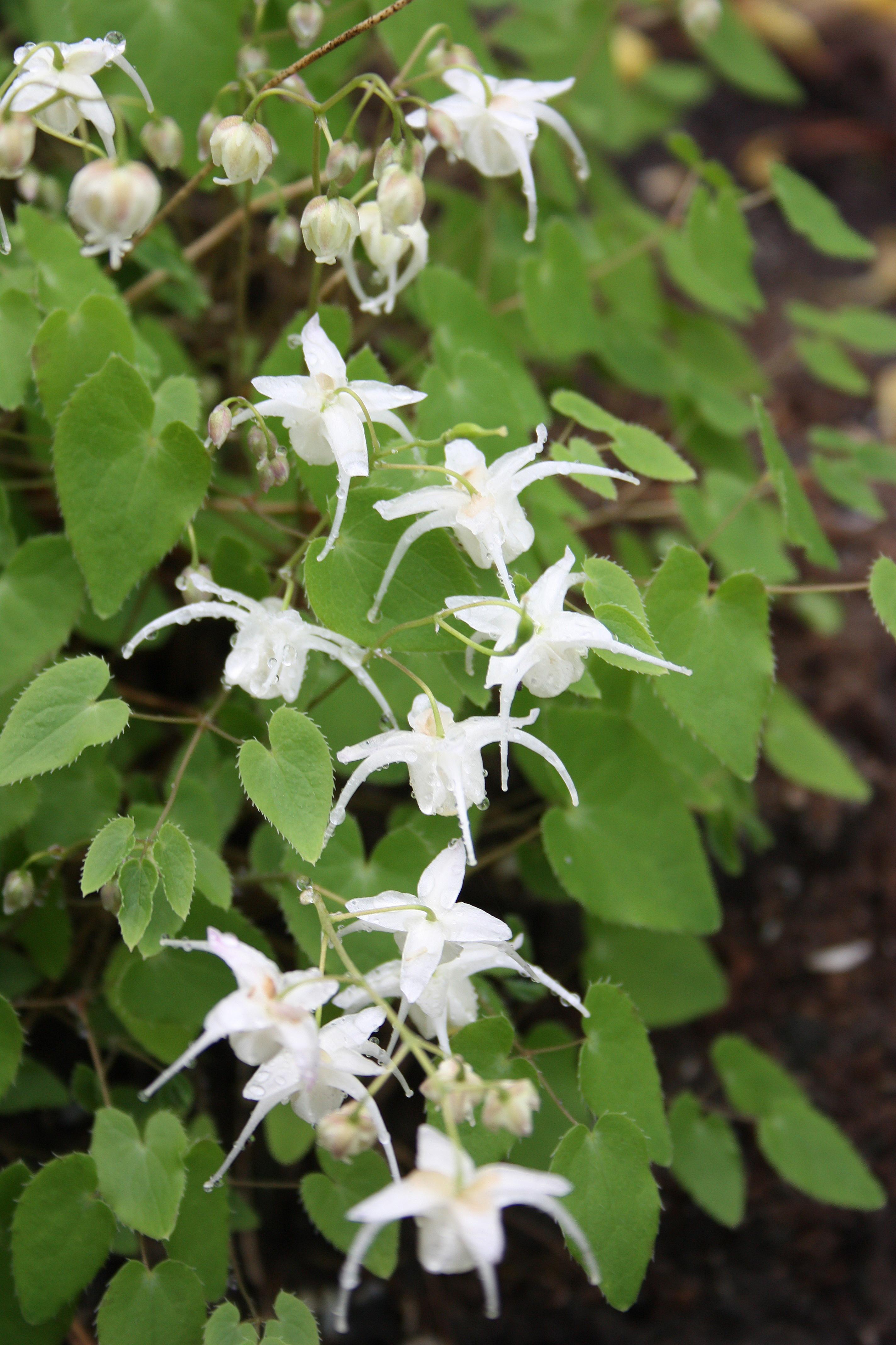 Epimedium x youngianum 'Liliputian' @ JLBG - a Don Jacobs/Eco Gardens introduction; deciduous