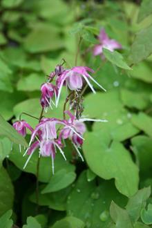 Epimedium x youngianum 'Marchacos Sprite'