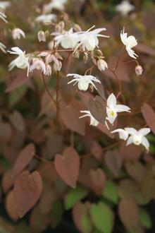 Epimedium x youngianum 'Purple Heart'