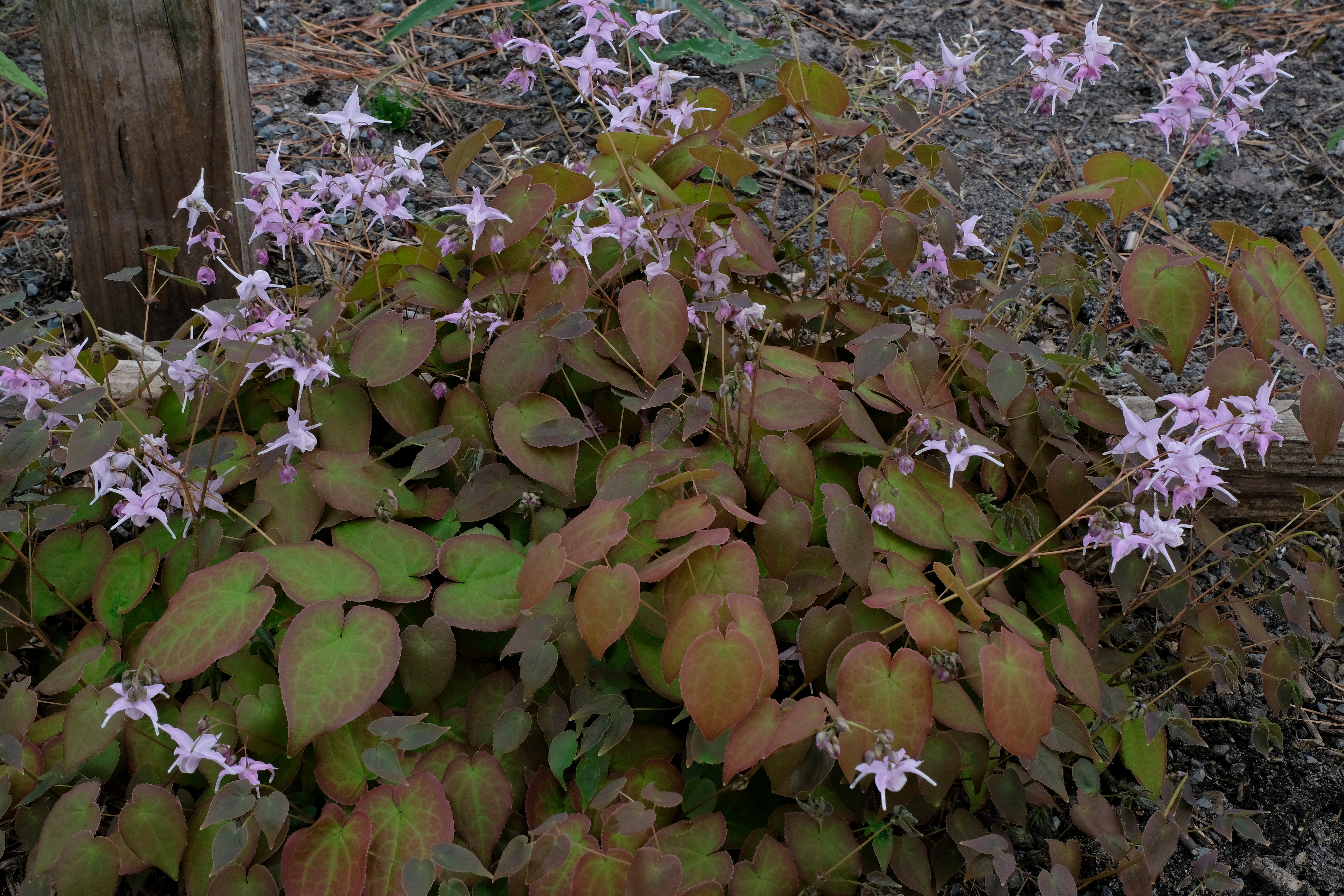 Epimedium x youngianum 'Royal Flush' @ JLBG - a 2004 Cobblewood Nursery introduction; semi-evergreen