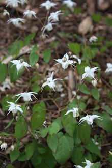 Epimedium x youngianum 'White Star'