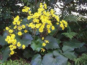 Farfugium 'Last Dance' in flower