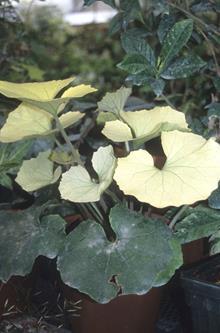 Farfugium japonicum 'Matsuyama Kinkan'
