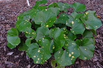 Farfugium japonicum 'Acid Wash'