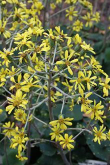Farfugium japonicum 'Auremaculatum' flowers