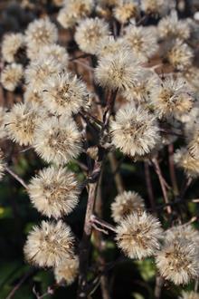 Farfugium japonicum 'Auremaculatum' seedheads