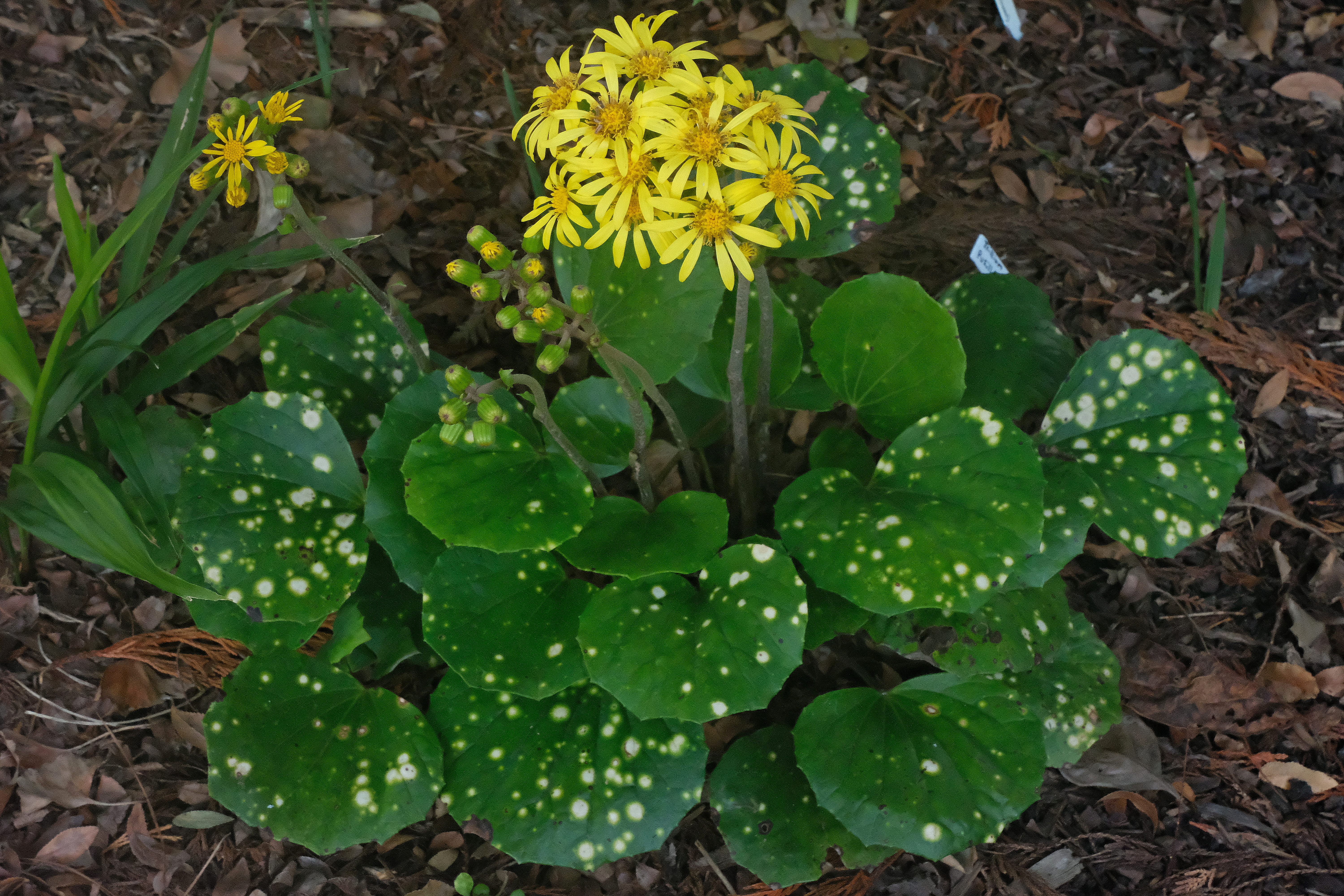 Farfugium japonicum 'Bashi Ogi' @ JLBG; this is most likely a selection of the Southern Japanese form, var. luchuense