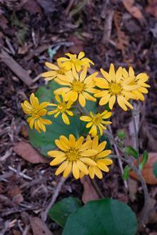 Farfugium japonicum 'Beni' flowers