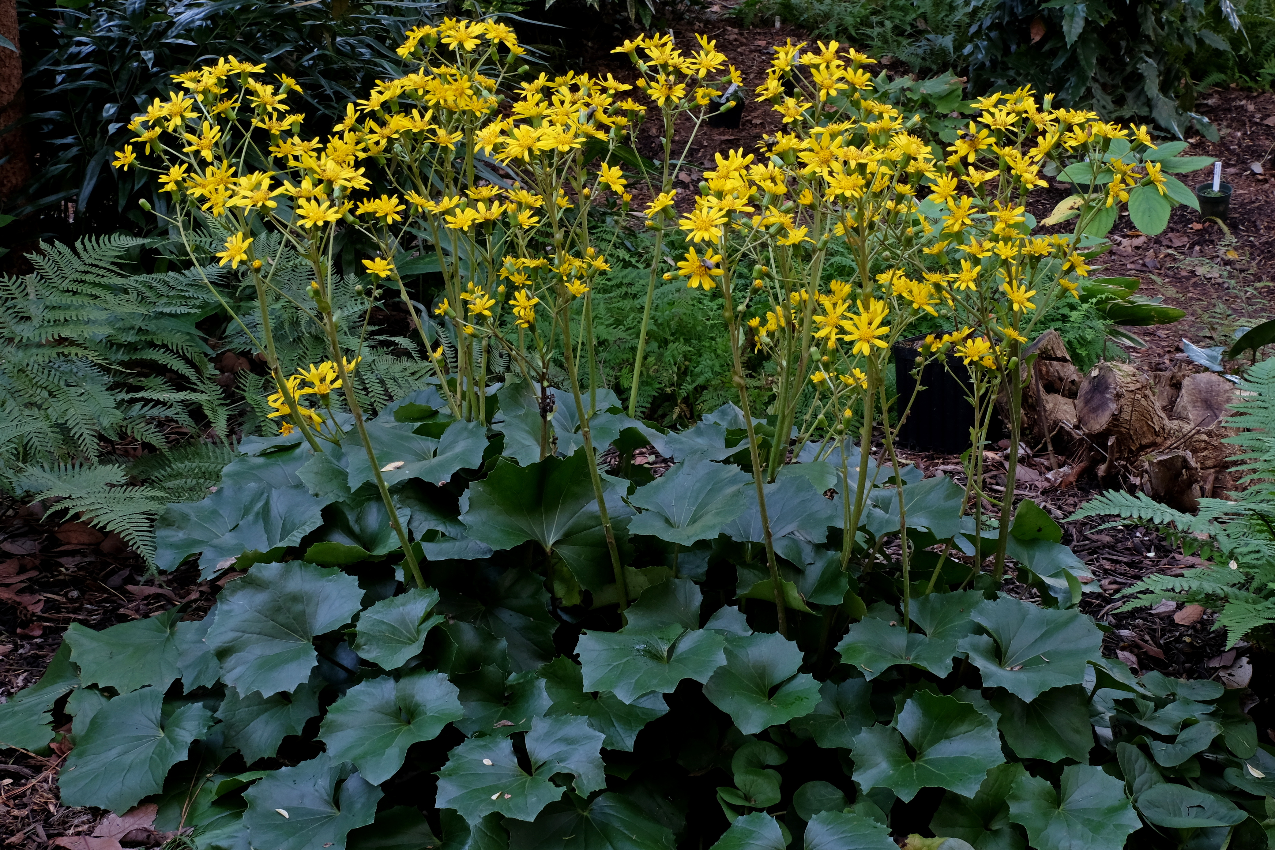 Farfugium japonicum 'Jagged Edge' @ JLBG; A form from Japan, shared by plantsman Hans Hansen with out a name, which was assigned by Plant Delights