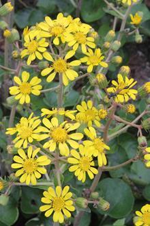 Farfugium japonicum 'Kaimon Dake'  flowers
