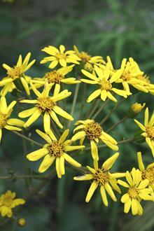 Farfugium japonicum 'Kin Kan' flowers