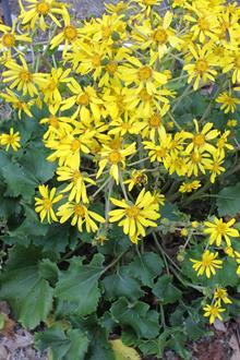 Farfugium japonicum 'Mitsuba' in flower