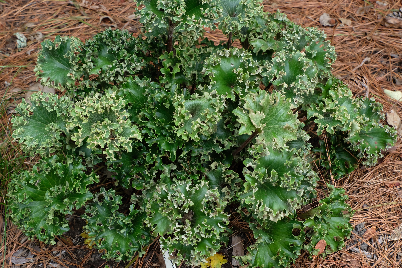 Farfugium japonicum 'Wavy Gravy' @ JLBG; A Lloyd Traven introduction that in our trials is identical to Farfugium 'Shishi Botan'