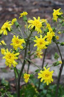 Farfugium japonicum 'Yaezaki Hoshifu' flowers