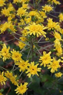 Farfugium japonicum 'Yaezaki' flowers