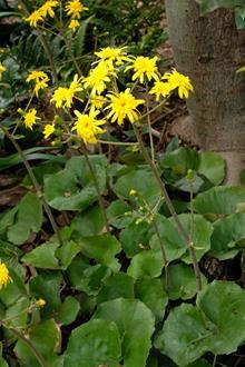 Farfugium japonicum 'Yaezaki'