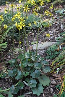 Farfugium japonicum formosanum 'Taiwan Star'