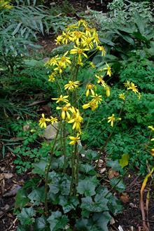 Farfugium japonicum var. formosanum 'Taiwan Star' in flower
