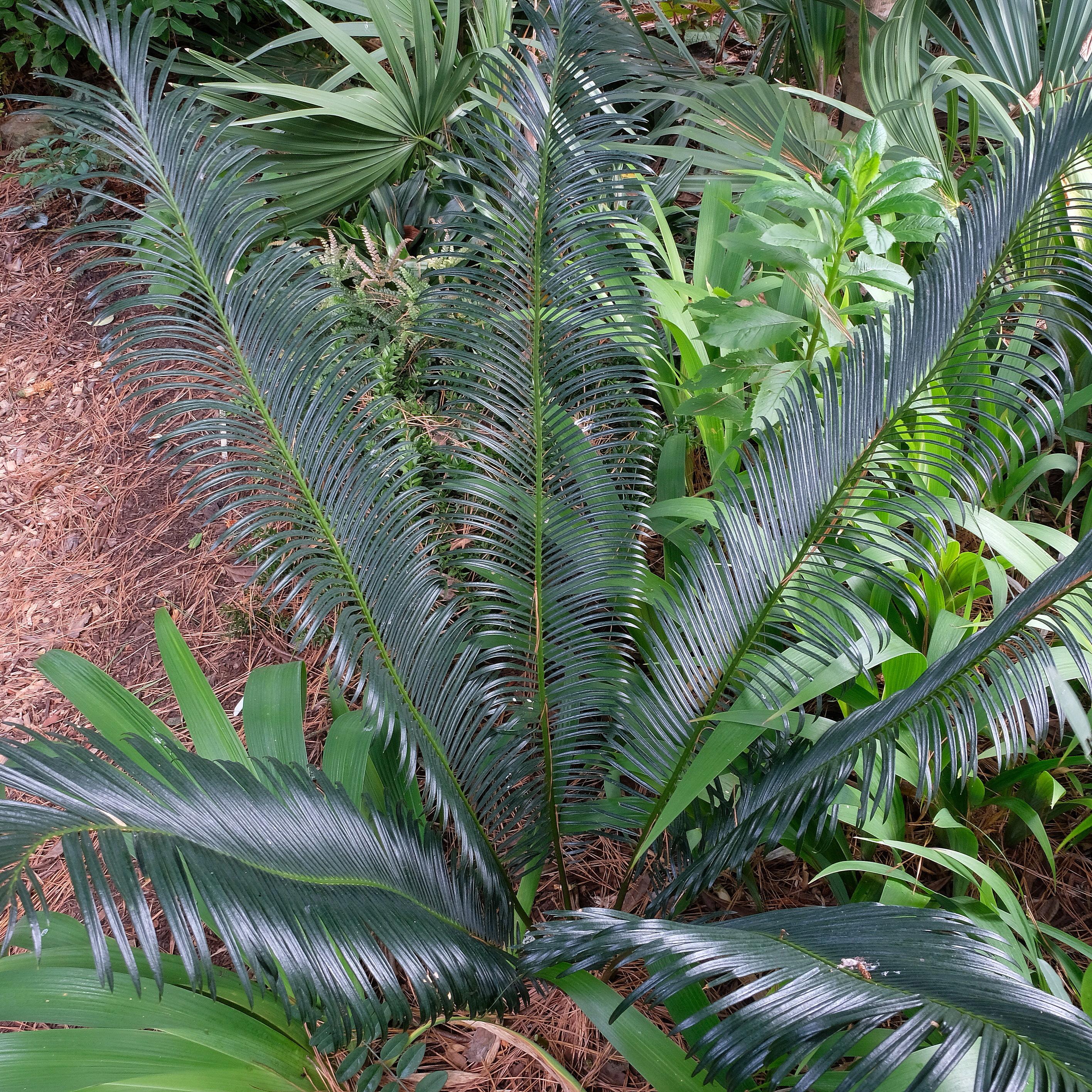Cycas panzhihuaensis @ JLBG; planted spring 2009