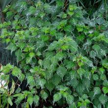 Boehmera japonica var. tenera 'Chantilly'