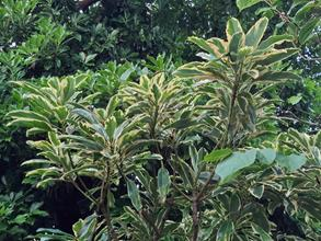 Daphniphyllum macropodium variegated