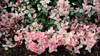Trachelospermum asiaticum 'Snow Rose'