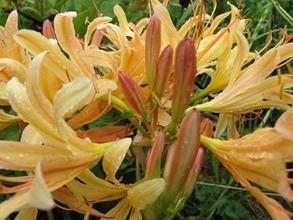 Lycoris 'Breaking Dawn'