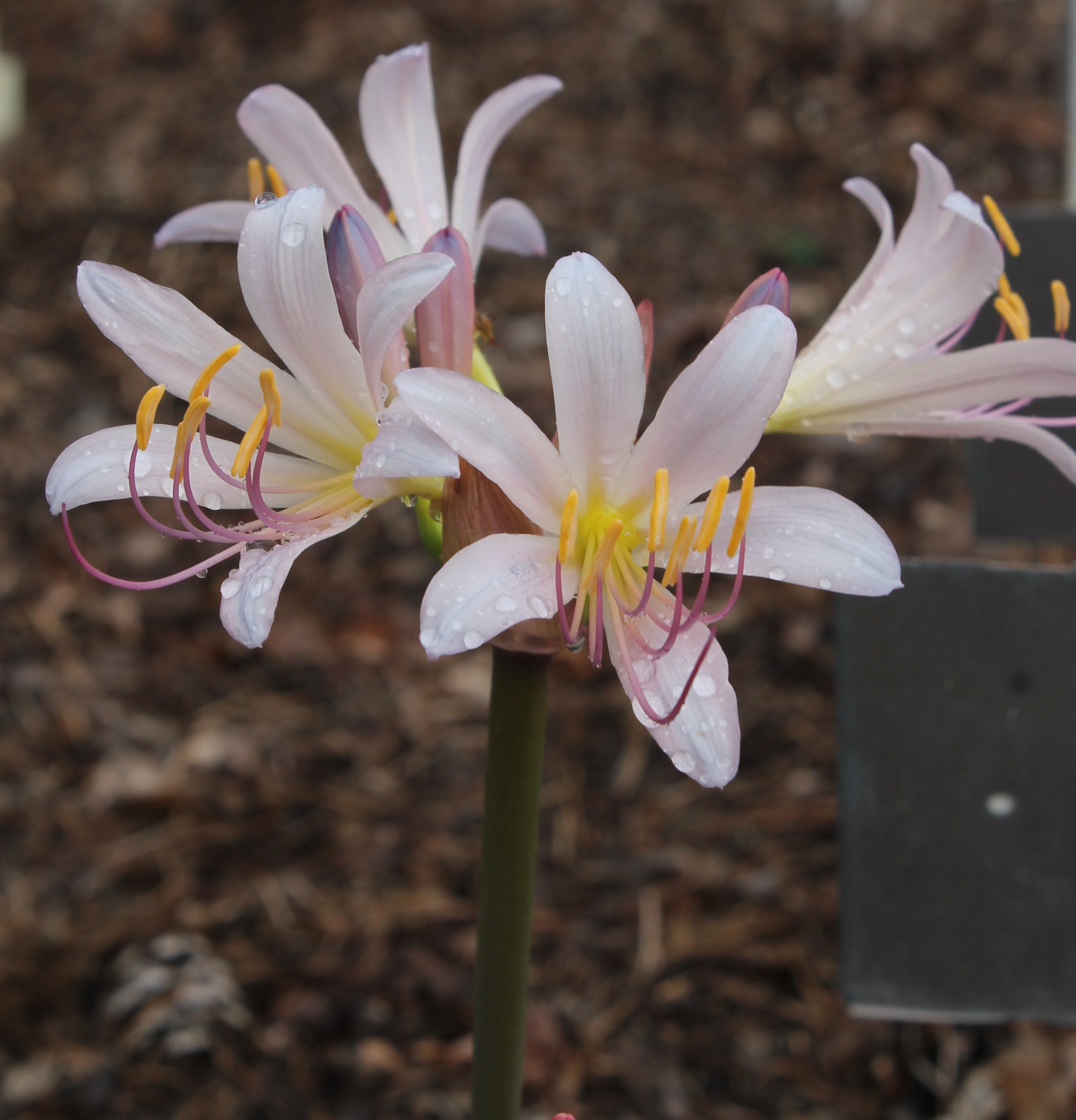 Lycoris x incarnata 'Blue Queen' @ JLBG - a Komoriya Nursery hybrid of Lycoris sprengeri x longituba