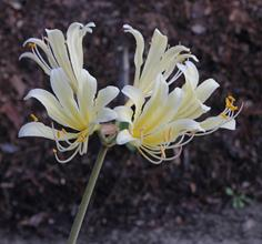 Lycoris x sprengensis 'Cream Tower'