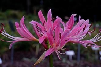 Lycoris x rosea 'Kibune'