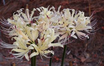 Lycoris x albiflora 'Moonbeam'