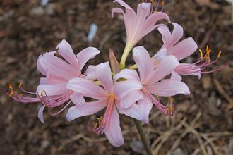 Lycoris x longitosea 'Royal Flush'