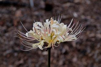 Lycoris 'September Lemon'