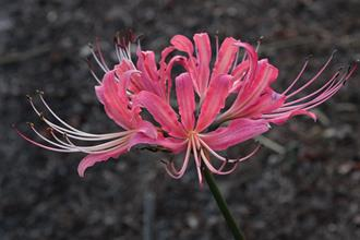 Lycoris 'September Noble'