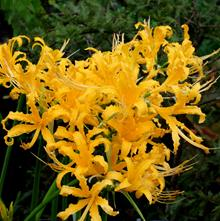 Lycoris aurea 'La Jolla Adams' 004'