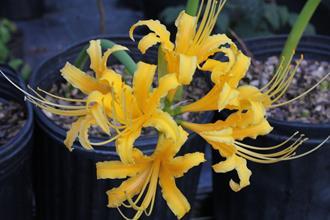 Lycoris aurea 'La Jolla Adams' 002'