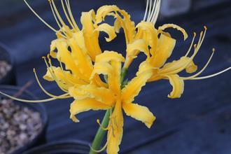 Lycoris aurea 'La Jolla Adams' 005'