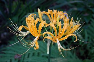 Lycoris aurea 'Kris Krinkles'