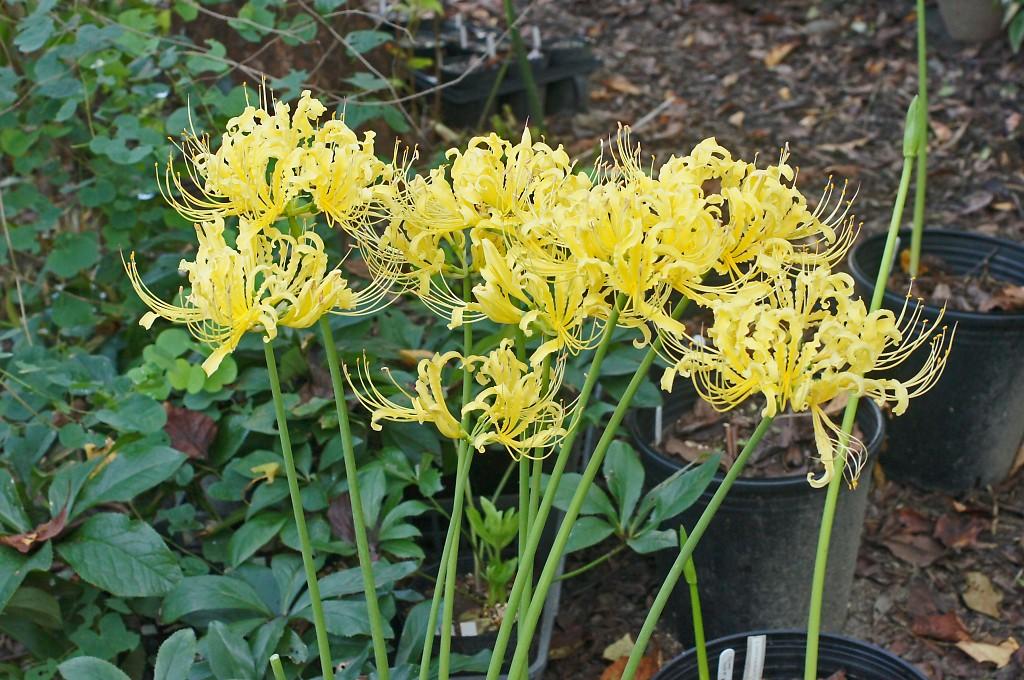 Lycoris x radchinaurea @ Japan - Lycoris aurea x (chinensis 'Sperryi' x Lycoris radiata var. pumila) (Satoshi Miwa)