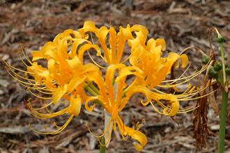 Lycoris chinensis PDN013 @ JLBG