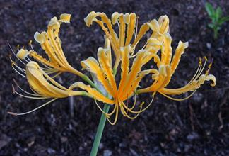 Lycoris chinensis 'Sperryi' Caldwell form @ JLBG