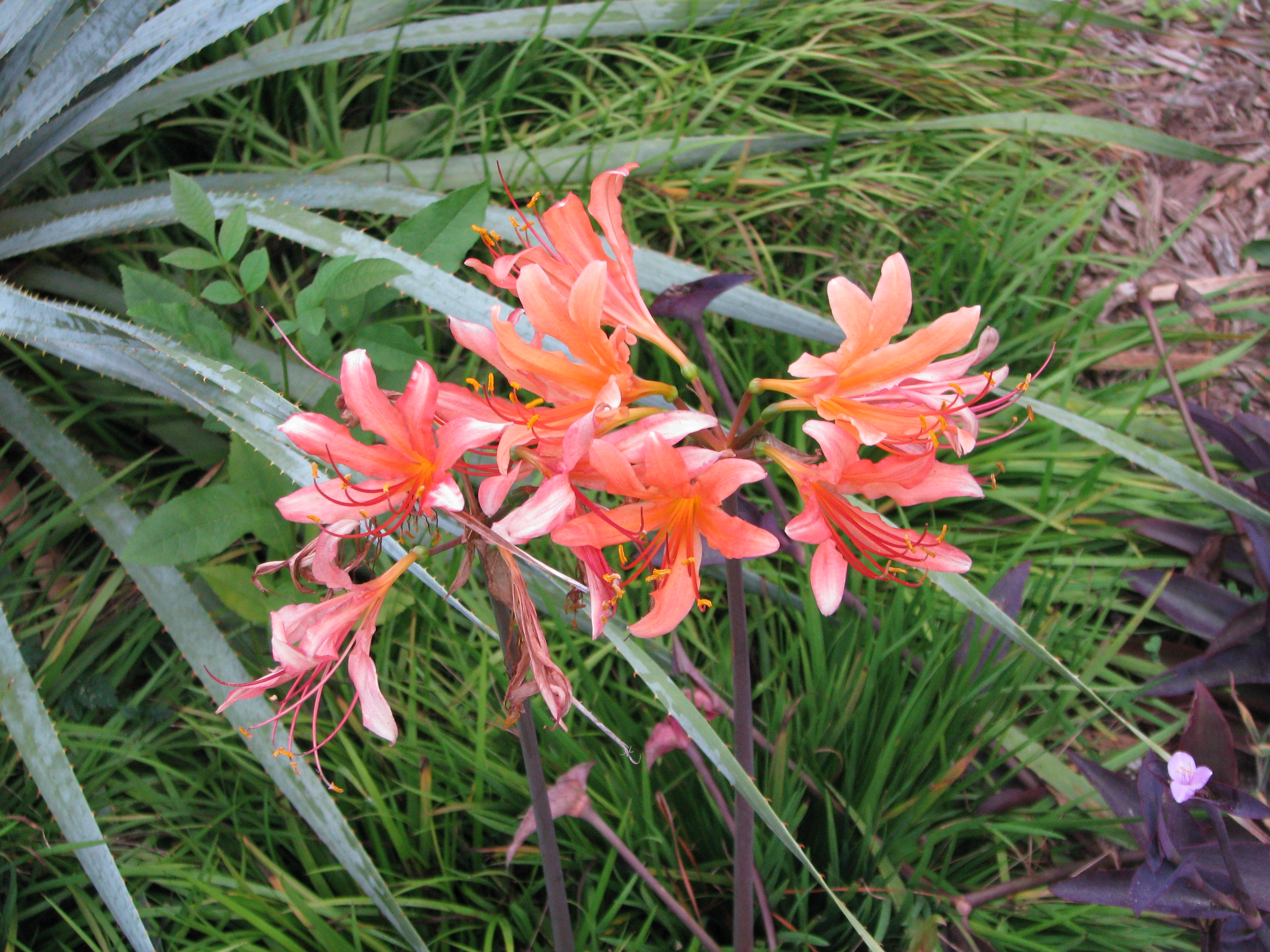 Lycoris x cinnabarina @ Riverbanks Botanic Garden (A. Cabe) - a hybrid of Lycoris aurea x sanguinea