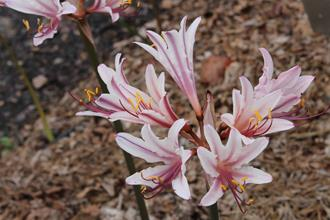 Lycoris x incarnata 'Peppermint'